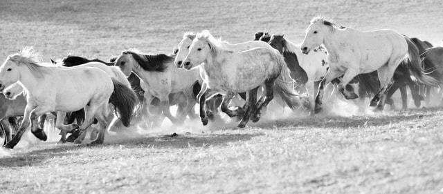 herd-livestock-pasture-horse-mammal picture material