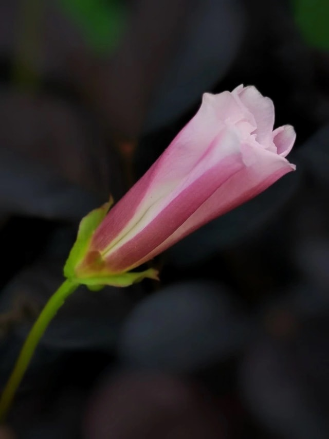 morning-glory-pink-flower-petal-plant picture material