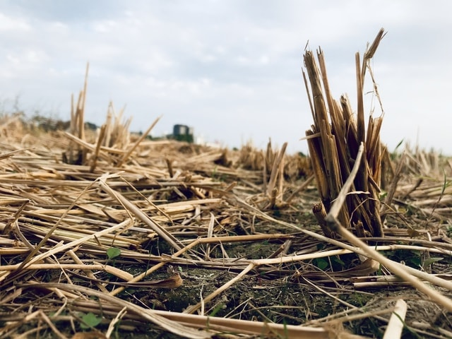 straw-wood-crop-agriculture-grass picture material