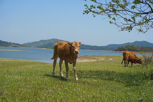 cattle-cow-grass-mammal-no-person picture material