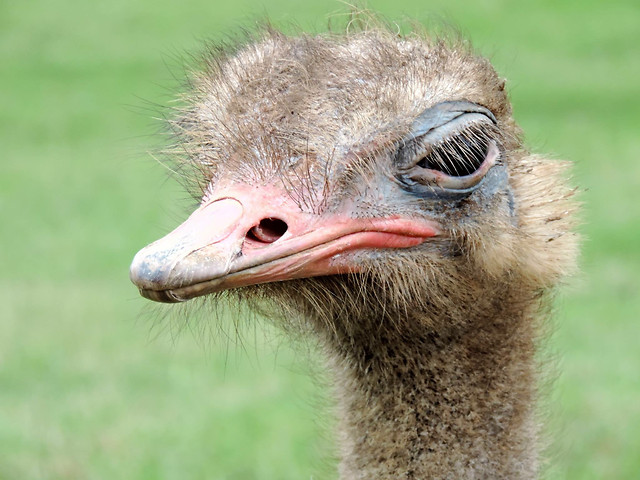 animal-wildlife-ostrich-portrait-head picture material