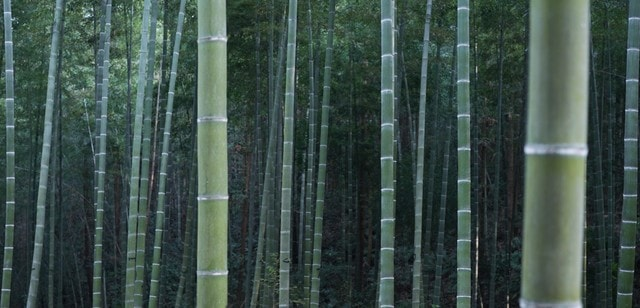bamboo-forest picture material