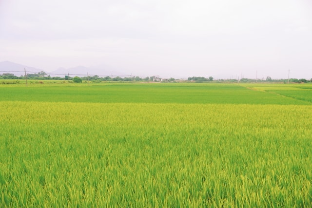 agriculture-field-crop-farm-grass picture material