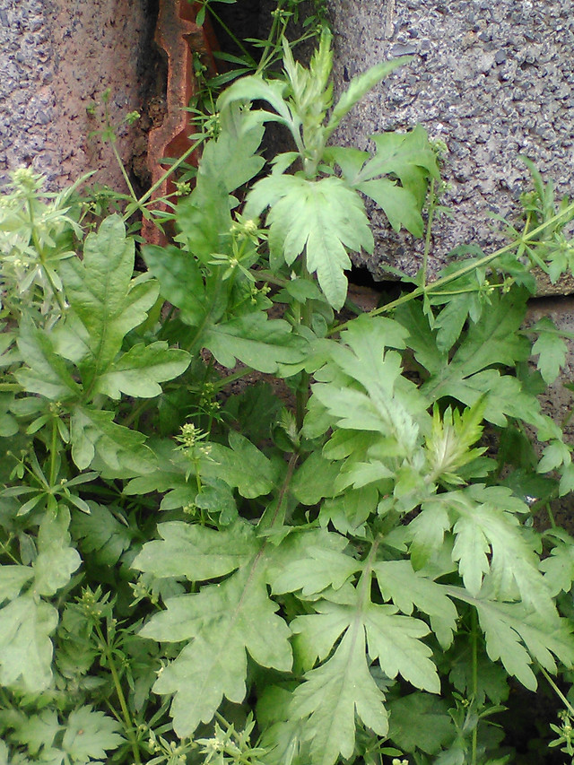 leaf-flora-herb-vegetable-food picture material