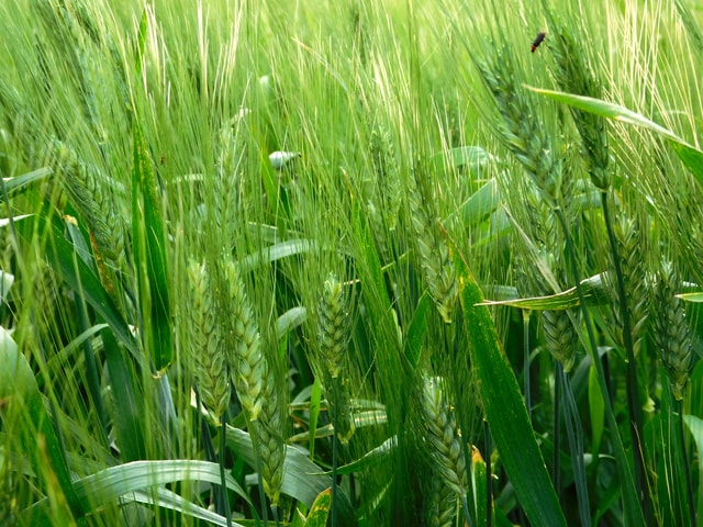 ears-of-wheat picture material