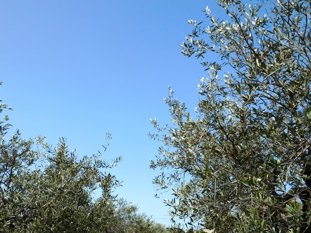 olive-tree picture material