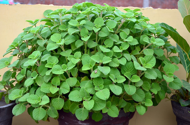 herb-leaf-flora-nature-growth picture material