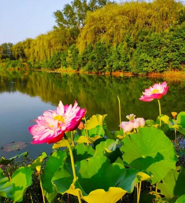 flower-plant-nature-lotus-lotus-family 图片素材