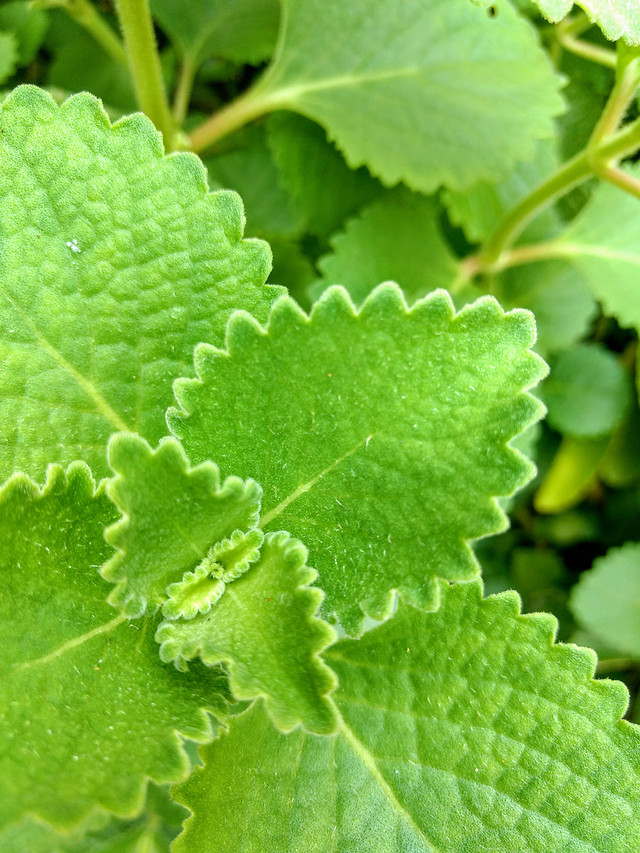 leaf-flora-herb-herbal-nature picture material