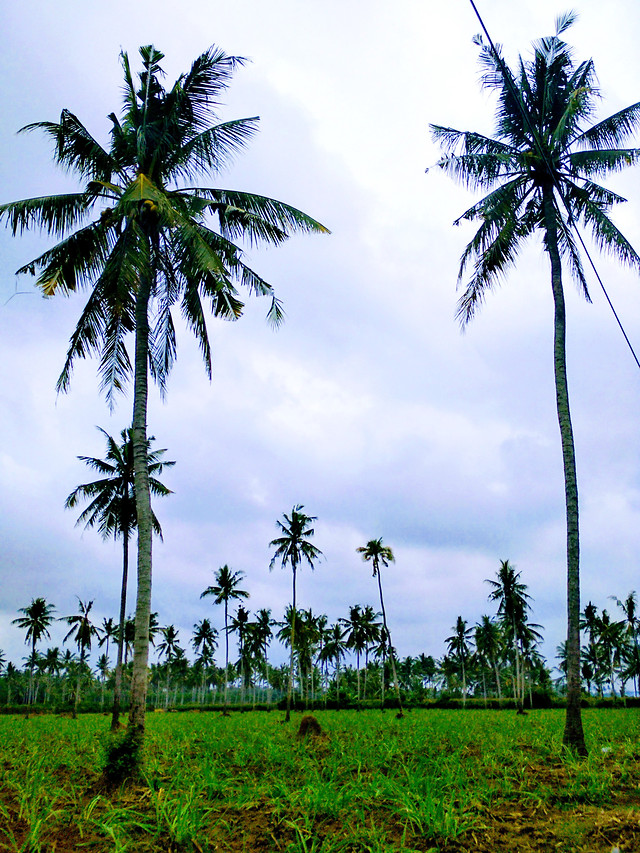 palm-coconut-tree-tropical-beach picture material