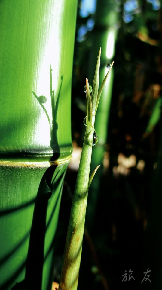 flora-leaf-bamboo-nature-growth picture material