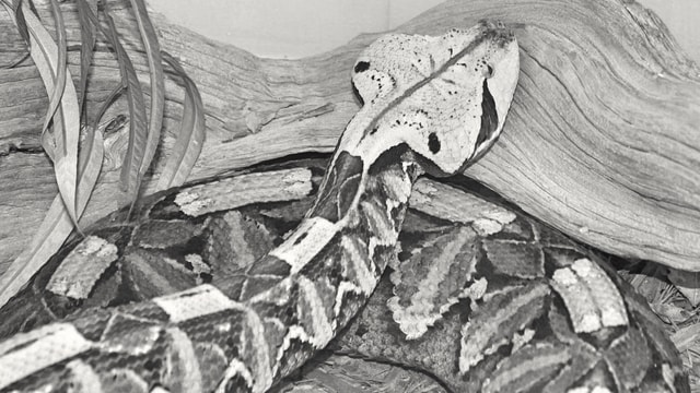 gaboon-viper-in-monochrome picture material