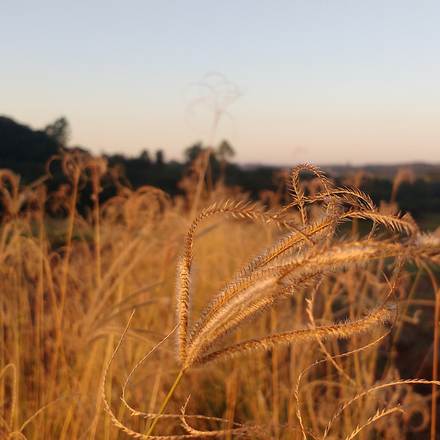 cereal-wheat-field-gold-straw picture material