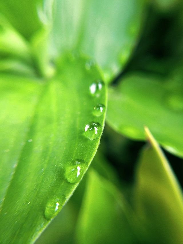dew-leaf-drop-moisture-green-leaf picture material
