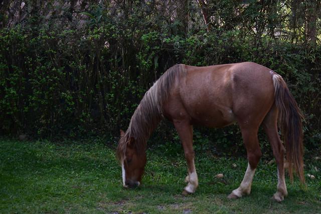 mammal-mare-cavalry-grass-horse picture material