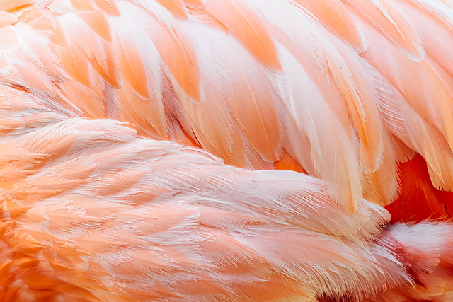 pink-flamingo-feathers-closeup-details picture material