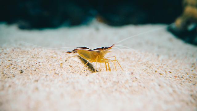 underwater-closeup-of-shrimp 图片素材