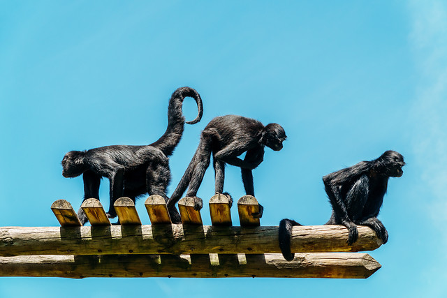 spider-monkeys-playing picture material
