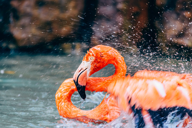 pink-flamingo-bird-portrait-in-wilderness picture material