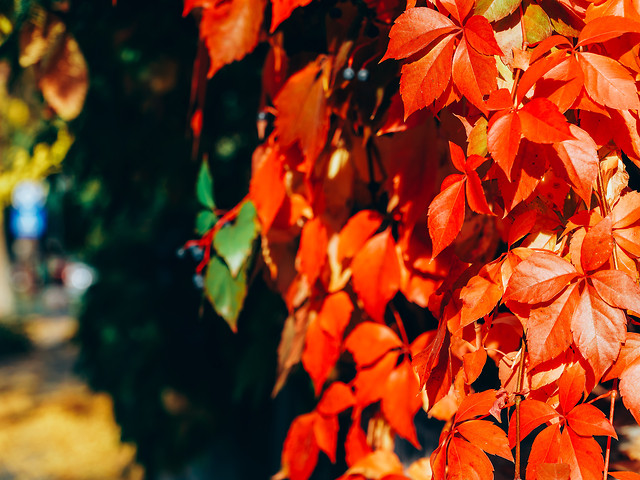 yellow-red-leaves-on-autumn-sunny-weather picture material