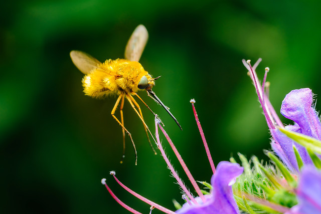 the-large-bee-fly-(bombylius-major)-gathers-flower-pollen picture material