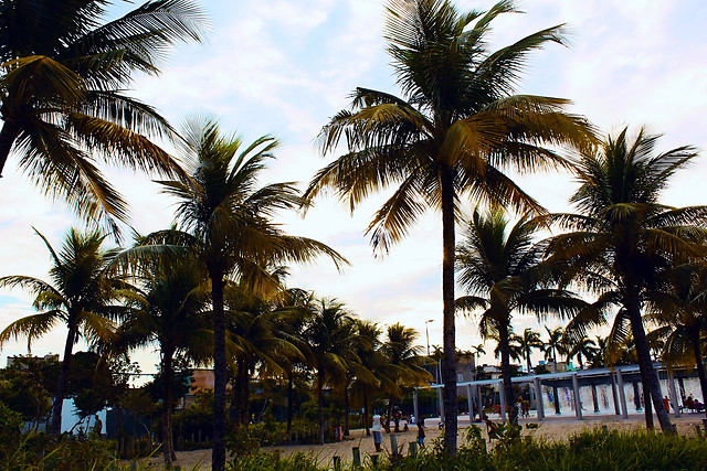 palm-beach-resort-coconut-tree picture material