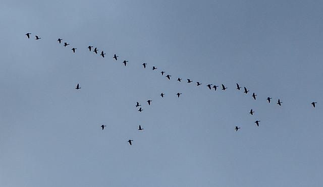 bird-flight-wildlife-flock-goose picture material