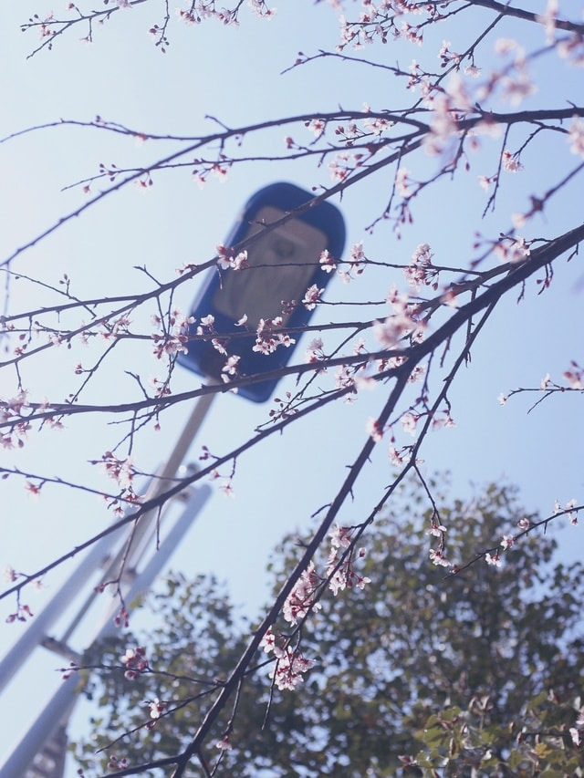 flower-spring-guilin-sunny-day-cherry-blossoms picture material