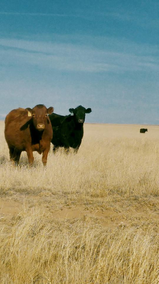 prairie-cows picture material