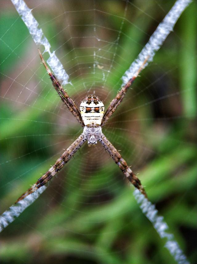 金蛛,ⅹ型丝带! picture material