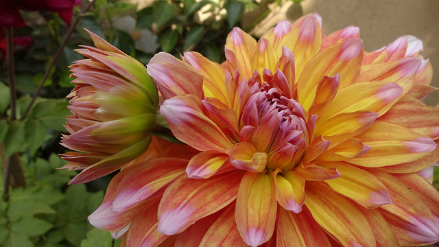 nature-flower-flora-summer-dahlia picture material