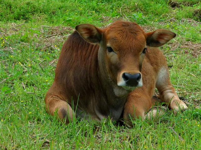 cow-mammal-cattle-grass-farm picture material