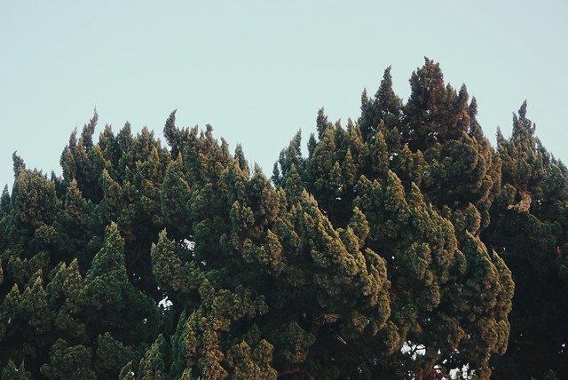 no-person-tree-nature-outdoors-conifer 图片素材