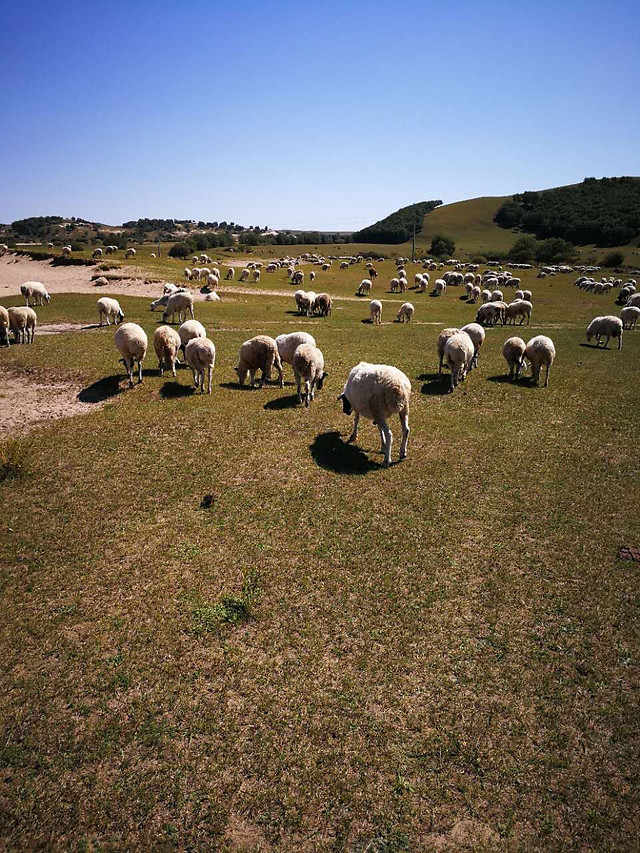 sheep-landscape-no-person-grassland-farm picture material
