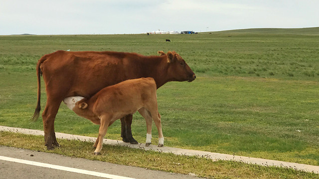 cow-mammal-cattle-agriculture-pasture picture material