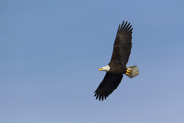 adult-bald-eagle-soars-overhead picture material