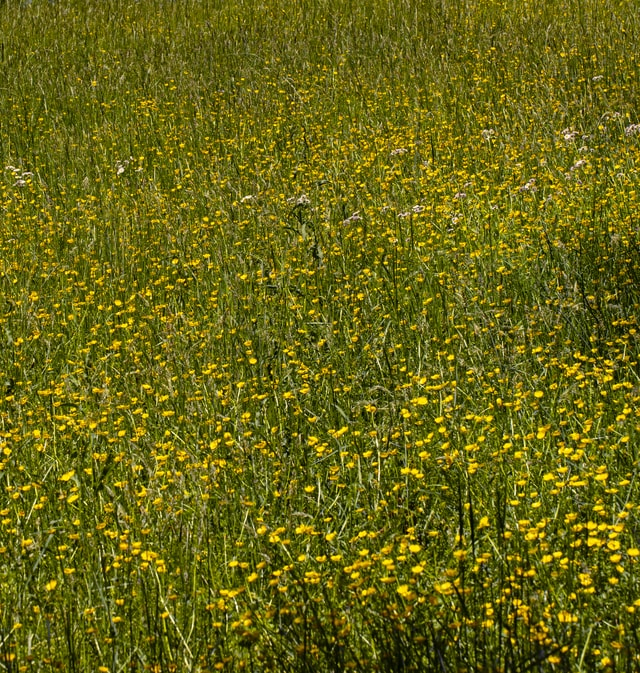 yellow-carpeted-horse-pasture picture material