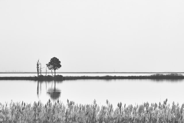 lone-pine-tree-on-salt-marsh-island picture material