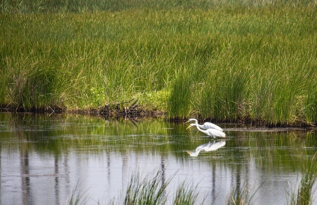 pair-of-great-white-egret-stalking-food 图片素材