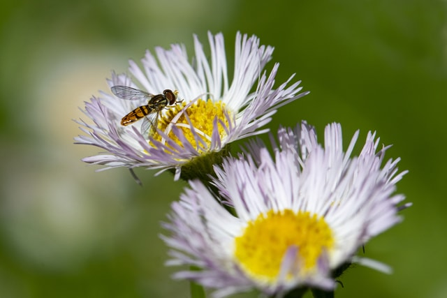 profile-of-hoverfly-on-wildflower picture material