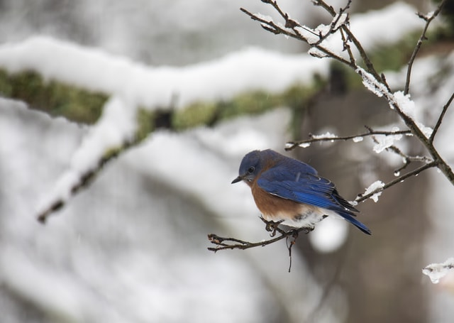 eastern-bluebird-perched-on-a-snowy-branch 图片素材