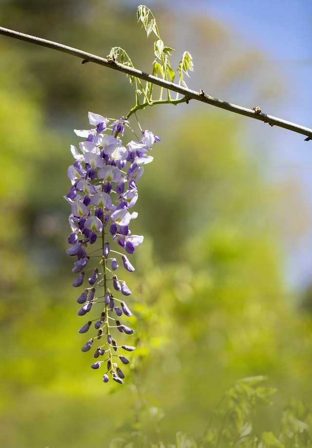 purple-wisteria-raceme-in-sunshine picture material