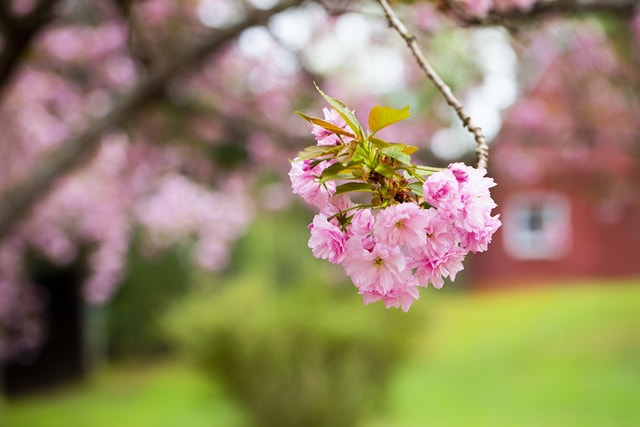 cherry-blossoms-and-farm-buildings picture material