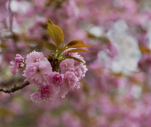 cherry-blossoms-in-detail picture material