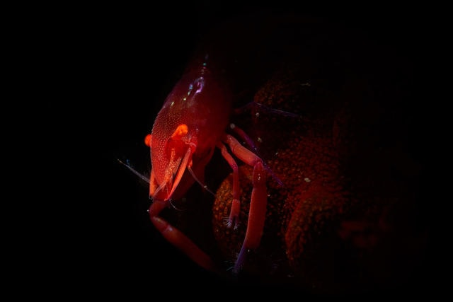 seabed-macro-shrimp-red-darkness 图片素材
