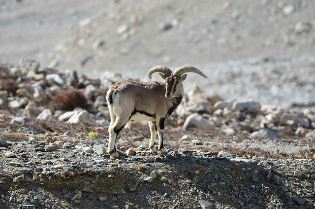 nature-no-person-wildlife-argali-outdoors picture material