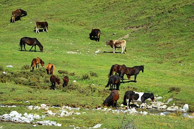 pasture-grassland-herd-grass-livestock picture material