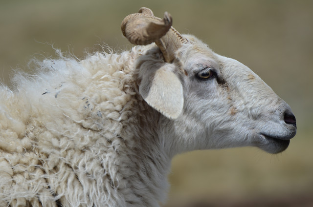 mammal-animal-nature-sheep-farm picture material