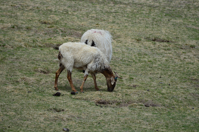 mammal-animal-sheep-grass-farm picture material