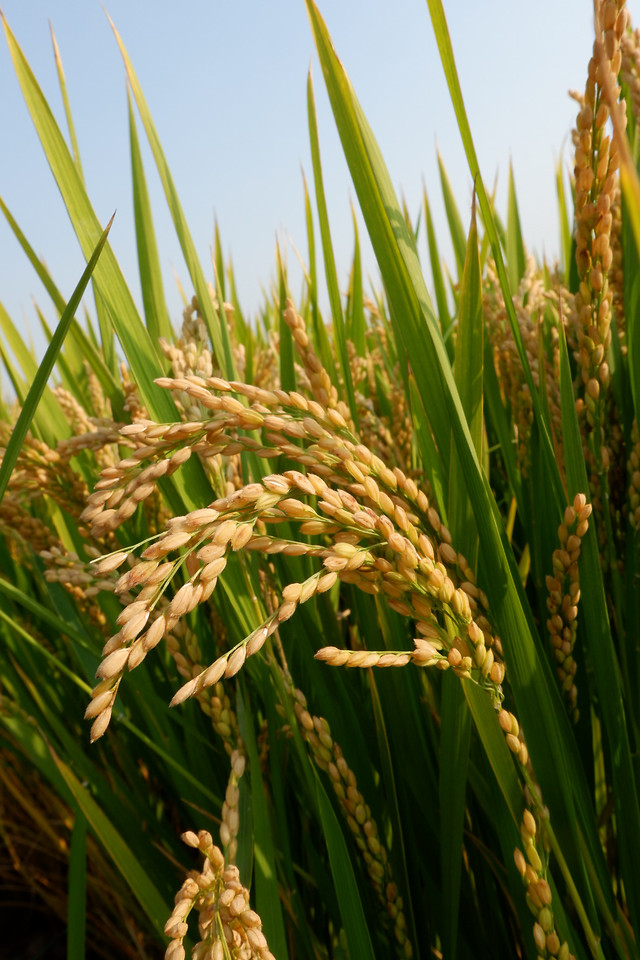 crop-grass-field-cereal-agriculture picture material